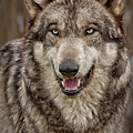 Portrait Of Gray Wolf by Sherry Butts
