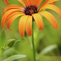 Portrait Of Orange Symphony by Dorothy Lee