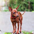 Portrait Of Red Miniature Pinscher Dog by Anna Maloverjan