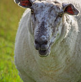 Portrait Of Sheep by Angela Doelling AD DESIGN Photo and PhotoArt