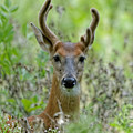 Portriat Of Male Deer by Peter Ponzio