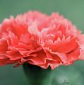 Posh Carnation by April Zaidi