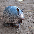 Posing Armadillo by Kenneth Albin