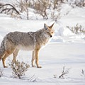 Posing Coyote by Brad Scott