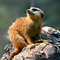 Posing Meerkat by Jutta Maria Pusl