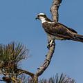 Posing Osprey by Jeff Carlson