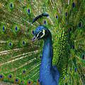 Posing Peacock by Marie Leslie