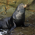 Posing Sea Lion by Randall Ingalls