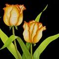 Posing Tulips by Carol Sabo