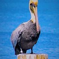 Posted Pelican by Judith L Schade