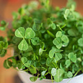 Pot Of Luck Shamrocks St Patricks Day by Terry DeLuco