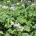 Potato Flower Agriculture Spring Scene by Goce Risteski