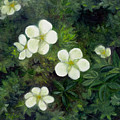 Potentilla by FT McKinstry