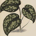 Pothos Argyraea by English School