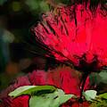 Powder Puff In Red by Betty LaRue
