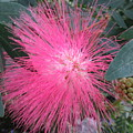 Powder Puff Tree 2 by Cindy Kellogg