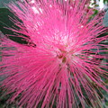 Powder Puff Tree by Cindy Kellogg