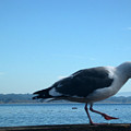 pr 117 - A  Seagull On Thr Fence by Chris Berry