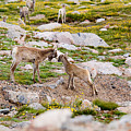 Practicing Baby Bighorn Sheep On Mount Evans Colorado by Steve Krull