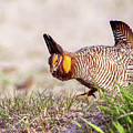 Prairie Chicken Dance by Judi Dressler