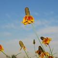 Prairie Cone Flowers Against Blue Sky Horizontal Number Three by Heather Kirk