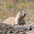 Prairie Dog  9255 by Jack Schultz