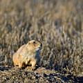 Prairie Dog Alert by Gary Langley