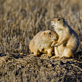 Prairie Dog Couple by Gary Langley