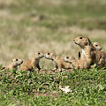 Prairie Dog Family 7270 by Donald Brown