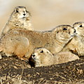 Prairie Dog Family Portrait by Larry Ricker