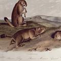 Prairie Dog by John James Audubon