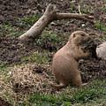 Prairie Dog by Linda Kerkau