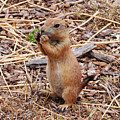 Prairie Dog by Nathan Little