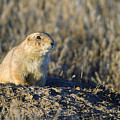 Prairie Dog Watchful Eye by Gary Langley