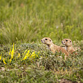 Prairie Dogs On Lookout by Chad Davis
