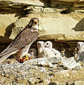 Prairie Falcon Cliff Nest by Judi Dressler