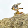 Prairie Falcon by Edita De Lima