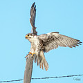 Prairie Falcon Landing On Post by Judi Dressler