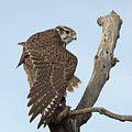Prairie Falcon Stretching by Michael Allred