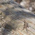 Prairie Lizard _ 1a by Walter Herrit