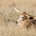 Prairie Longhorn by Bill Kesler