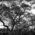 Prairie Oak by William Haas