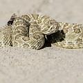 Prairie Rattlesnake  by Chris Augliera