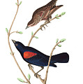 Prairie Starling by John James Audubon