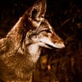 Prairie Wolf Portrait by Venetta Archer
