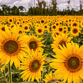 Prayers For Maria Sunflowers by Dale Kincaid