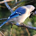 Praying Blue Jay by Jai Johnson