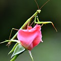 Praying Mantis 2 by Noah Cole