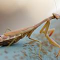 Praying Mantis Close Up by Ohad Shahar