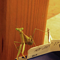 Praying Mantis II by C Devon Brown